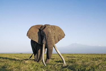 African elephant bull elephant with large tusks Africa,African elephant,African elephants,elephant,Elephantidae,endangered,endangered species,Loxodonta,mammal,mammalia,Proboscidea,vertebrate,grass,tusk,tusks,trunk,head,ears,eye,large,bull male,clos