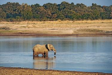 African elephant crossing Luangwa river Africa,African elephant,African elephants,animal behaviour,bathes,behaviour,elephant,Elephantidae,endangered,endangered species,Loxodonta,mammal,mammalia,Proboscidea,vertebrate,water,wet,swamp,waterho