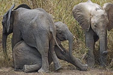African elephant calves playing Africa,African elephant,African elephants,animal behaviour,bathes,behaviour,elephant,Elephantidae,endangered,endangered species,Loxodonta,mammal,mammalia,Proboscidea,vertebrate,baby,juvenile,young,cut