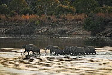 African elephant herd crossing Luangwa River Africa,African elephant,African elephants,animal behaviour,bathes,behaviour,elephant,Elephantidae,endangered,endangered species,Loxodonta,mammal,mammalia,Proboscidea,vertebrate,water,ripples,evening,r