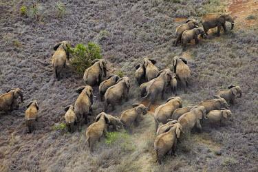 Aerial view of African elephant herd in Kenya Africa,African elephant,African elephants,elephant,Elephantidae,endangered,endangered species,Loxodonta,mammal,mammalia,Proboscidea,vertebrate,herd,landscape,habitat,savannah,savanna,walking,walk,migr