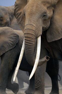 African elephant cow with exceptionally long tusks Africa,African elephant,African elephants,elephant,Elephantidae,endangered,endangered species,Loxodonta,mammal,mammalia,Proboscidea,vertebrate,tusk,tusks,trunk,head,ears,eye,large,female,cow,Elephants