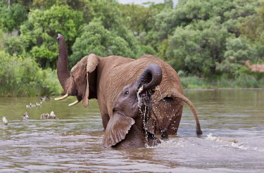 African elephant mother and young calf having a swim Africa,African elephant,African elephants,animal behaviour,bathes,behaviour,elephant,Elephantidae,endangered,endangered species,Loxodonta,mammal,mammalia,Proboscidea,vertebrate,baby,juvenile,young,cal