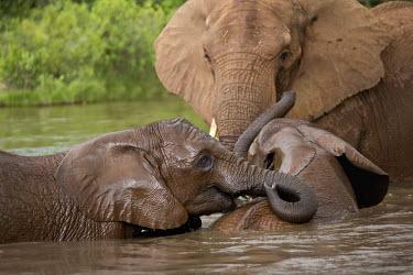 African elephant mother and young calves having a swim Africa,African elephant,African elephants,animal behaviour,bathes,behaviour,elephant,Elephantidae,endangered,endangered species,Loxodonta,mammal,mammalia,Proboscidea,vertebrate,baby,juvenile,young,cal
