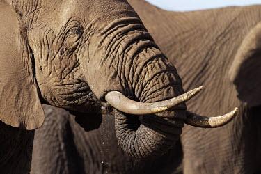African elephants drinking at a waterhole Africa,African elephant,African elephants,animal behaviour,bathes,behaviour,elephant,Elephantidae,endangered,endangered species,Loxodonta,mammal,mammalia,Proboscidea,vertebrate,wet,wildlife,water,wate