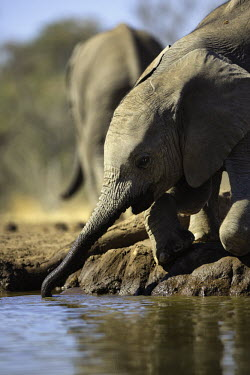 Young African elephant drinking at waterhole Africa,African elephant,African elephants,animal behaviour,bathes,behaviour,elephant,Elephantidae,endangered,endangered species,Loxodonta,mammal,mammalia,Proboscidea,vertebrate,wet,wildlife,water,wate