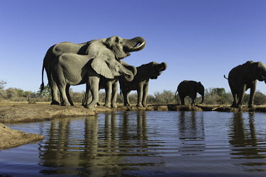 African elephants drinking at waterhole Africa,African elephant,African elephants,animal behaviour,bathes,behaviour,elephant,Elephantidae,endangered,endangered species,Loxodonta,mammal,mammalia,Proboscidea,vertebrate,wet,wildlife,water,wate