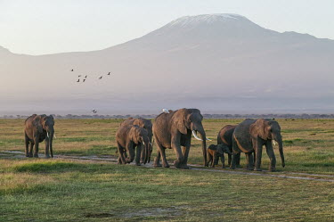 African elephant herd on the move Africa,African elephant,African elephants,animal behaviour,behaviour,elephant,Elephantidae,endangered,endangered species,Loxodonta,mammal,mammalia,Proboscidea,vertebrate,matriarch,herd,walking,movemen