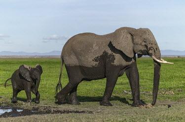 African elephant mother and young calf after a mud bath Africa,African elephant,African elephants,animal behaviour,bathes,behaviour,elephant,Elephantidae,endangered,endangered species,Loxodonta,mammal,mammalia,Proboscidea,vertebrate,baby,juvenile,young,cal