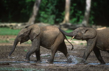 Forest elephant sub-adults play fighting Forest elephant,Africa,African elephants,elephant,Elephantidae,endangered,endangered species,Loxodonta,mammal,mammalia,Proboscidea,vertebrate,profile,animal behaviour,sub-adult,juvenile,play-fighting,