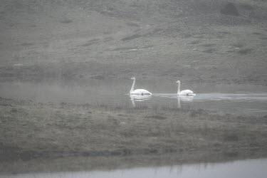 Whooper swan pair Whooper swan,cygnus cygnus,aves,birds,swan,anatidae,waterbird,pair,swimming,movement,moving beautiful,winter,mist,fog,water,least concern,Iceland,Europe,river,vertebrate,Waterfowl,Anseriformes,Chordat