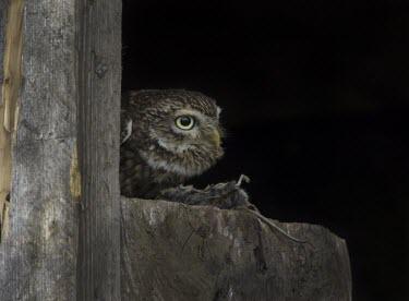 Little owl feeding Athene noctua,Little owl,bird,aves,strigidae,owl,beak,bill,eye,feeding,eating,least concern,raptor,bird of prey,UK species,British species,UK,Europe,head,close up,peeking,True Owls,Strigidae,Aves,Bird