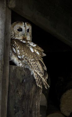 Tawny owl Tawny owl,strix aluco,bird,aves,strigidae,owl,beak,bill,eyes,least concern,raptor,bird of prey,UK species,British species,UK,Europe,head,portrait,profile,talons,perched,Chordates,Chordata,True Owls,St