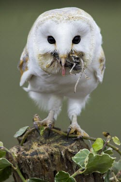 Barn owl Barn owl,common barn owl,tyto alba,bird,aves,strigidae,owl,beak,eye,feeding,eating,least concern,raptor,bird of prey,catch,prey,predator,UK species,British species,UK,Europe,head,close up,portrait,pro