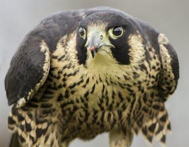 Peregrine falcon Peregrine falcon,Falco peregrinus,aves,birds,falconidae,falcon,bird of prey,UK species,British species,UK,Europe,head,close up,profile,talons,perched,raptor,eye,beak,least concern,feeding,eating,prey,