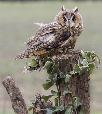 Northern long-eared owl Northern long eared owl,Asio otus,bird,aves,strigidae,owl,beak,eyes,perching,perched,least concern,raptor,bird of prey,UK species,British species,UK,Europe,portrait,profile,Aves,Birds,Owls,Strigiforme