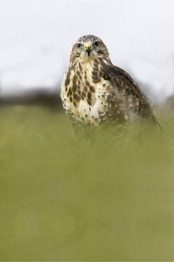 Buzzard Buteo buteo,common buzzard,eurasian buzzard,aves,bird,raptor,bird of prey,accipitridae,least concern,talons,beak,bill,perched,eating,UK,Europe,British species,UK species,vertebrate,profile,feeding,bir