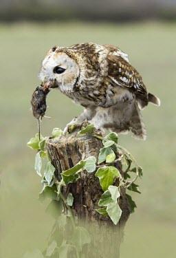 Tawny owl Tawny owl,strix aluco,bird,aves,strigidae,owl,beak,bill,eye,feeding,eating,kill,prey,predator,catch,least concern,raptor,bird of prey,UK species,British species,UK,Europe,head,portrait,profile,talons,