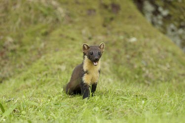 Pine marten with mouth open Carnivores,Europe,European,United Kingdom,Britain,British,British species,mammal,mammals,mammalia,mustelidae,mustelid,portrait,cute,shocked,woodland,forest,standing,grass,face,close-up,Chordates,Chord