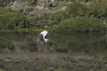 Cattle egret taking off cattle egret,Bubulcus ibis,aves,bird,Ardeidae,egret,wading bird,wader,wetland,river,flying,in flight,flight,taking off,wings,beak,bill,least concern,vertebrate,Himalayas,Nepal,Asia,water,Ciconiiformes