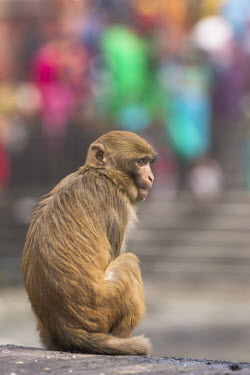 Rhesus macaque sitting in urban area rhesus macaque,rhesus monkey,macaca mulatta,mammalia,mammal,primate,Cercopithecidae,old world monkey,monkey,city,urban,road,urbanisation,urbanization,profile,face,eyes  ears,cute,sitting,vertebrate,le