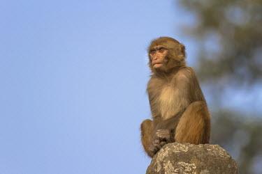Rhesus macaque sat on rock rhesus macaque,rhesus monkey,macaca mulatta,mammalia,mammal,primate,Cercopithecidae,old world monkey,monkey,profile,face,sitting,sat,least concern,eyes,rock,Himalayas,Nepal,Asia,staring,Old World Monk