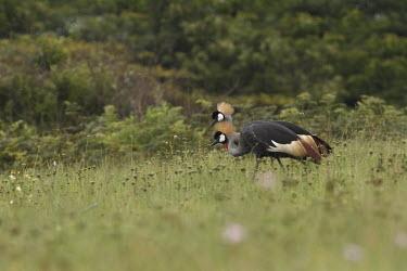 Pair of grey crowned-cranes pair,walking,umzito,vernon crookes nature reserve,Umzinto,Kwazulu Natal,South Africa,Africa,Grey crowned-crane,Balearica regulorum,endangered,endangered species,crane,Gruidae,aves,birds,vertebrate,sid