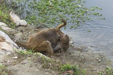 Rhesus macaques play fighting rhesus macaque,rhesus monkey,macaca mulatta,mammalia,mammal,primate,Cercopithecidae,old world monkey,monkey,vertebrate,animal behaviour,play fighting,fighting,play,wetland,river,least concern,Himalaya