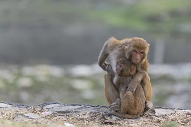 Rhesus macaque female with young rhesus macaque,rhesus monkey,macaca mulatta,mammalia,mammal,primate,Cercopithecidae,old world monkey,monkey,vertebrate,animal behaviour,shy,cute,hands,feet,ears,nose,sitting,himalayas,nepal,asia,love,
