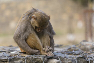 Rhesus macaque looking down rhesus macaque,rhesus monkey,macaca mulatta,mammalia,mammal,primate,Cercopithecidae,old world monkey,monkey,vertebrate,grooming,animal behaviour,shy,sad,grumpy,cute,hands,feet,ears,nose,sitting,himala