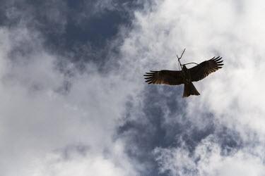 Soaring black kite carrying twigs black kite,Milvus migrans,aves,birds,Accipitridae,bird of prey,kite,soaring,flying,in flight,flight,gliding,beak,eyes,wingspan,bill,wings,vertebrate,Himalayas,Nepal,Asia,least concern,nest building,an