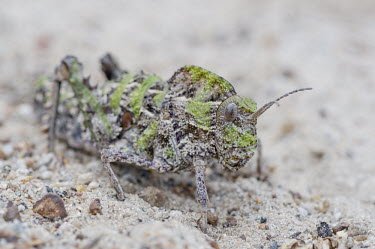Saw-backed locust African insect,Beauty in Horizontal,Marine Protected Area,National Park,South Africa,West Coast National Park,Western Cape,africa,african,biology,hoplolopha spp,insect,nature reserve,no people,protect