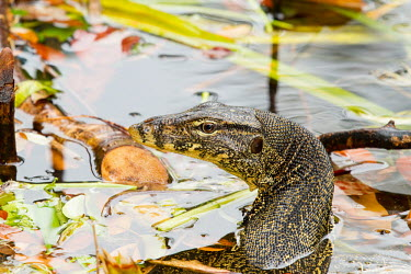 Water monitor Common water monitor,water monitor,reptilia,reptile,varanus salvator,vertebrate,Sumatra,Indonesia,Asia,side profile,side view,close up,head,face,wetland,eye,water,lizard,Terrestrial,Varanidae,Animalia