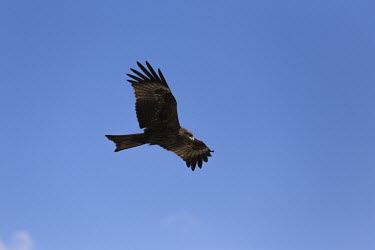 Soaring black kite black kite,Milvus migrans,aves,birds,Accipitridae,bird of prey,kite,soaring,in flight,flight,flying,gliding,beak,eyes,wingspan,bill,wings,vertebrate,Himalayas,Nepal,Asia,least concern,blue,Aves,Birds,