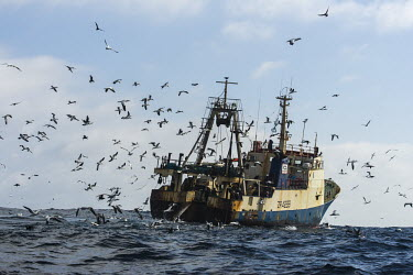 Trawler scavengers African bird,Horizontal,Outdoors,Pelagic,Seabirds,South Africa,africa,african wildlife,animal,aves,avian,biology,cape canyon,color,commercial fisheries,day,deep sea,fauna,fisheries,fishing,marine,ocea