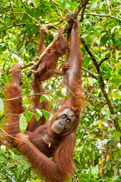 Mother Sumatran orangutan with young climbing tree Sumatran orangutan,orangutan,pongo abelii,mammalia,mammal,primate,hominidae,hominid,great ape,forest,rainforest,Sumatra,Indonesisa,Asia,critically endangered species,critically endangered,mother,baby,