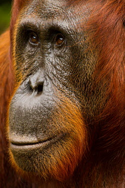 Female Sumatran orangutan close-up Sumatran orangutan,orangutan,pongo abelii,mammalia,mammal,primate,hominidae,hominid,great ape,forest,rainforest,Sumatra,Indonesisa,Asia,critically endangered species,critically endangered,close up,fem