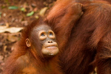 Young Sumatran orangutan looking up baby,juvenile,young,infant,profile,portrait,Sumatran orangutan,orangutan,pongo abelii,mammalia,mammal,primate,hominidae,hominid,great ape,forest,rainforest,Sumatra,Indonesisa,Asia,critically endangere