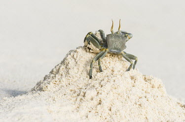 Ghost crab burrowing in sand Amirantees,D'Arros Island,Horizontal,Indian Ocean,Islands,Marine Protected Area,Seychelles,St Joseph Atoll,atoll,coast,coral island,day,ghost crab,ocean,oceanic,ocypode ceratophthalma,tropical islands