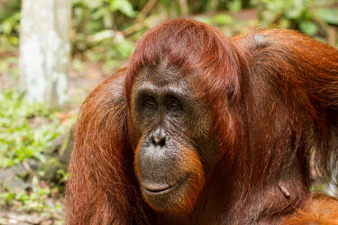 Female Sumatran orangutan close-up Sumatran orangutan,orangutan,pongo abelii,mammalia,mammal,primate,hominidae,hominid,great ape,forest,rainforest,Sumatra,Indonesisa,Asia,critically endangered species,critically endangered,female,close
