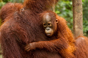 Young Sumatran orangutan holding onto mother Sumatran orangutan,orangutan,pongo abelii,mammalia,mammal,primate,hominidae,hominid,great ape,forest,rainforest,Sumatra,Indonesisa,Asia,critically endangered species,critically endangered,protection,m