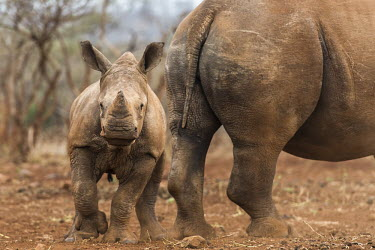 White rhino calf standing near its protective mother Calf,Horizontal,KwaZulu Natal,South Africa,Zimanga Game Reserve,Zululand,africa,african,african animal,african mammal,african wildlife,animal,animal themes,animals in the wild,biology,day,endangered s