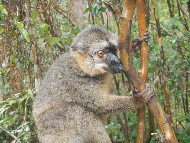 Brown lemur in tree Brown lemur,Common brown lemur,Eulemur fulvus,mammalia,mammal,primates,lemuridae,lemur,face,fur,eyes,nose,ears,forest,rainforest,cute,near threatened,vertebrate,close up,profile,Madagascar,Africa,clim