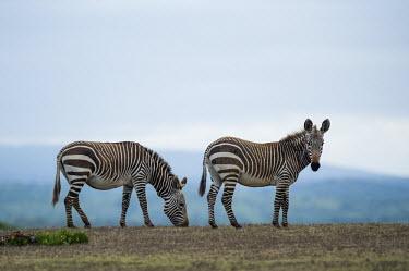 Cape mountain zebras grazing Cape Mountain Zebra,De Hoop Nature Reserve & Marine Protected Area,Horizontal,Marine Protected Area,Outdoors,South Africa,Western Cape,World Heritage Site,adult,africa,african,african animal,african m