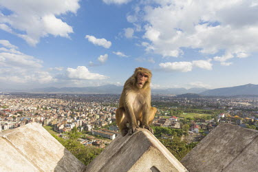 Rhesus macaque sat on roof in urban area rhesus macaque,rhesus monkey,macaca mulatta,mammalia,mammal,primate,Cercopithecidae,old world monkey,monkey,profile,face,teeth,eyes,ears,sitting,vertebrate,least concern,close up,angry,Himalayas,Asia,