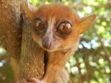 Sambirano mouse lemur Sambirano mouse lemur,Microcebus sambiranensis,mammalia,mammal,primates,cheirogaleidae,mouse lemur,lemur,endangered,rainforest,forest,cute,eyes,whiskers,big eyes,climbing,ears,nose,face,close up,Madag
