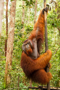 Large male Sumatran orangutan in rehabilitation centre Sumatran orangutan,orangutan,pongo abelii,mammalia,mammal,primate,hominidae,hominid,great ape,forest,rainforest,Sumatra,Indonesia,Asia,critically endangered species,critically endangered,male,face pla