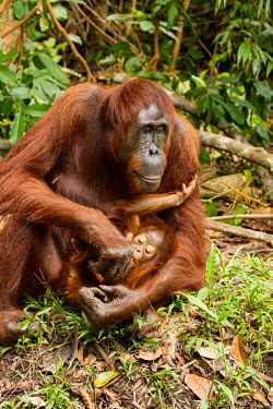 Mother Sumatran orangutan with young Sumatran orangutan,orangutan,pongo abelii,mammalia,mammal,primate,hominidae,hominid,great ape,forest,rainforest,Sumatra,Indonesisa,Asia,critically endangered species,critically endangered,close up,fem