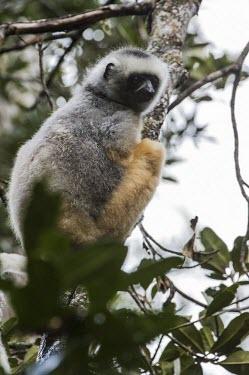 Diademed sifaka Diademed sifaka,Propithecus diadema,mammalia,mammal,primates,indriidae,lemur,critically endangered,critically endangered species,cute,forest,rainforest,side profile,vertebrate,Madagascar,Africa,tail,e