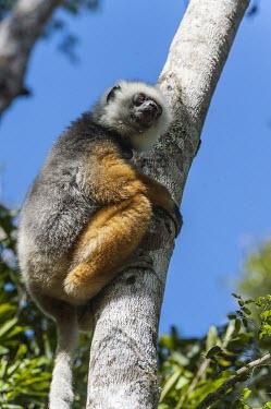 Diademed sifaka in tree Diademed sifaka,Propithecus diadema,mammalia,mammal,primates,indriidae,lemur,critically endangered,critically endangered species,cute,forest,rainforest,side profile,vertebrate,Madagascar,Africa,tail,e